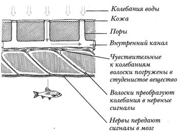Изучение темы «Морфологические адаптации рыб» в школьном курсе биологии