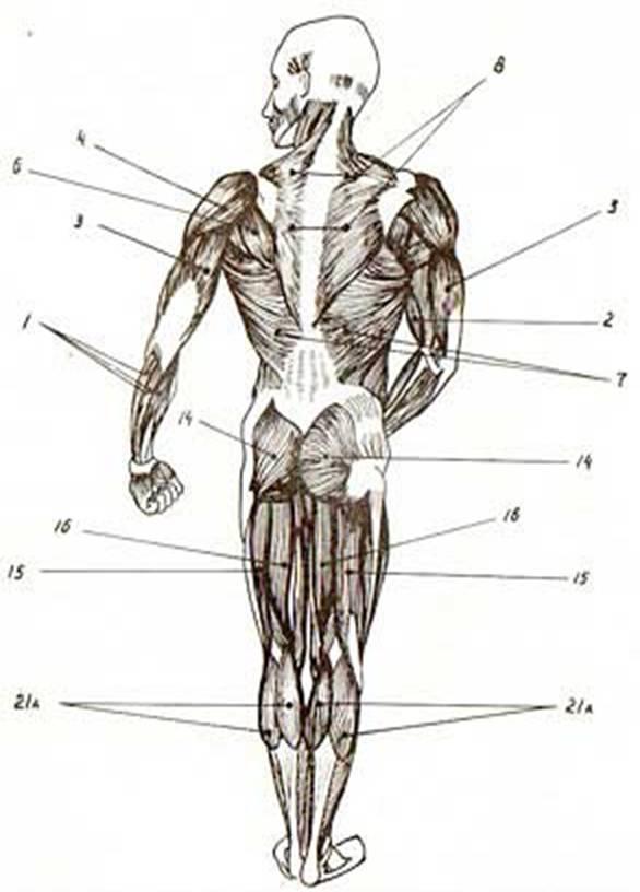 Реферат мышечная система человека 5181